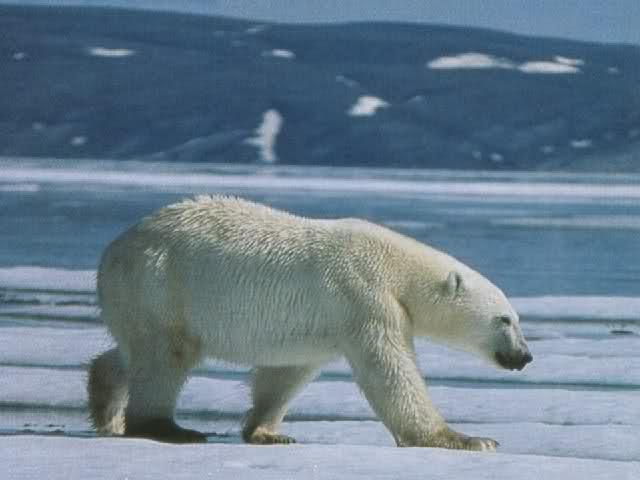 Rivoluzione Coca Cola: cambia il marchio per salvare gli orsi polari