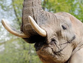 I cinesi bramano l'avorio, riesplode in Africa la mattanza illegale di elefanti