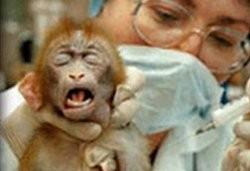 Scimmie per la vivisezione, per i Nas è tutto regolare